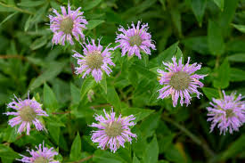Buy Wild Bergamot Plants - Camp Creek Native Plants